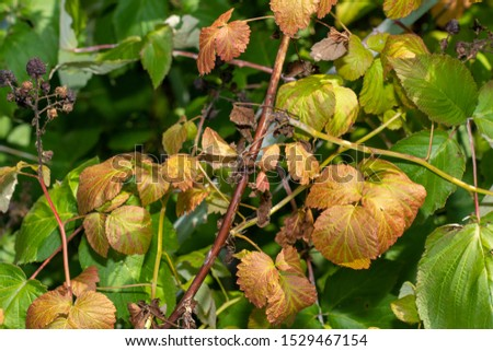 diseased leaves in spots of rotten blackcurrant. Protection against diseases and pests in  garden #1529467154