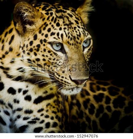 Leopard portrait #152947076