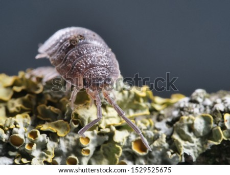 woodlouse frontal, Porcellio scaber, on a branch with lichens, background dark with space for text #1529525675