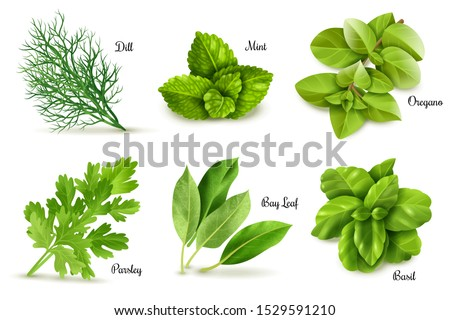 Herbs set on a white background, isolated objects, popular culinary plants, natural health care, mint and rosemary, basil, thyme, parsley, dill, bay leaf, oregano and sage. Vector #1529591210