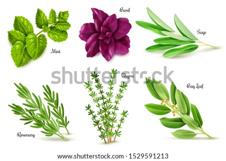 Herbs set on a white background, isolated objects, popular culinary plants, natural health care, mint and rosemary, basil, thyme, parsley, dill, bay leaf, oregano and sage. Vector #1529591213