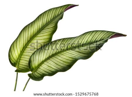 Calathea ornata leaves(Pin-stripe Calathea),Tropical foliage isolated on white background. #1529675768