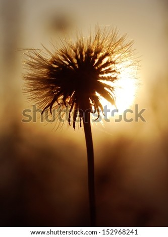 beautiful screensaver,dandelion