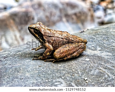 The common frog (Rana temporaria), also known as the European common frog, European common brown frog, or European grass frog sitting on a stone. #1529748152