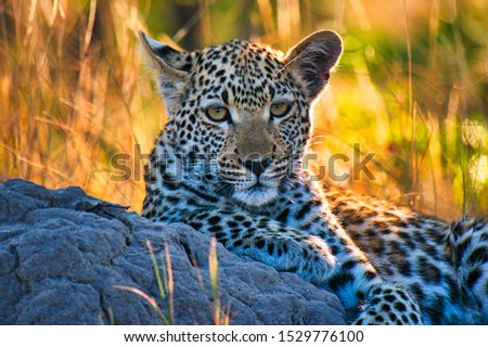 Small leopard - posing for this picture. Stunning experience to find this leopard with his mother during the morning hours and stay with them for an hour...