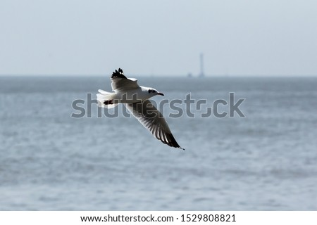 seagull,flying seagull, seagull flying, bird, flying brid #1529808821