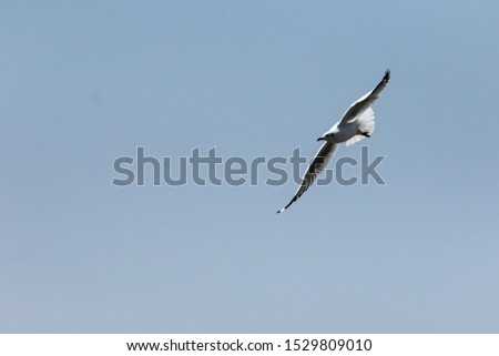 seagull,flying seagull, seagull flying, bird, flying brid #1529809010