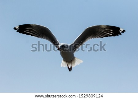 seagull,flying seagull, seagull flying, bird, flying brid #1529809124