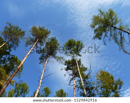 Treetops of several pines. Tree species for dry climate. Sheep clouds and blue sky in the background.  Picture up.