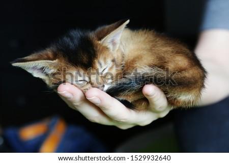 Beautiful abyssinian kitten sleeping on the palm Royalty-Free Stock Photo #1529932640
