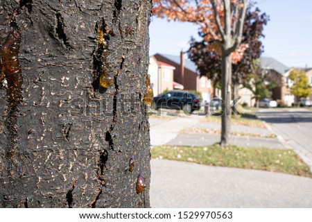 Zoomed old tree bark with golden-brown resin drops of tears #1529970563
