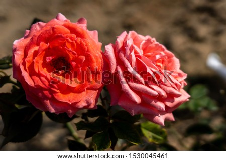 Two America rose flowers in the field. Scientific name: Rosa 'America' Flower bloom Color: Orange pink.  #1530045461