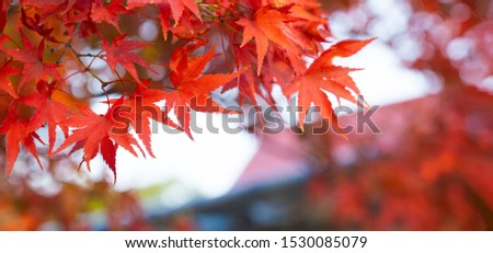 Autumn Colors in Tokyo, Japan, Beautiful autumn maple leaves in sunlight. Autumn forest natural landscape. #1530085079