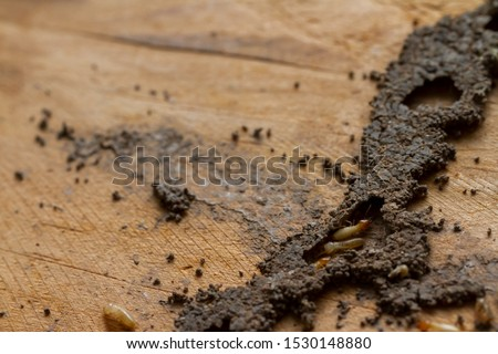 Group of worker termites walking and move in cracking tunnel from termite nest on old brown wood board of abandoned house. Background for environment or pest control or house problem concept.
