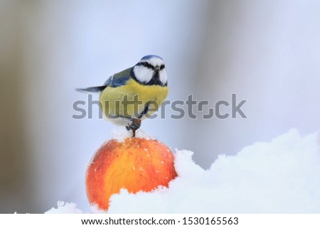 The Eurasian blue tit (Cyanistes caeruleus) is a small passerine bird in the tit family, Paridae. Blue tit sitting on the apple. Winter scene with a blue tit #1530165563