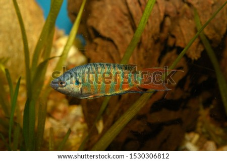 The paradise fish, paradise-fish, paradisefish, or paradise gourami (Macropodus opercularis) is a species of gourami found in most types of fresh water in East Asia. #1530306812