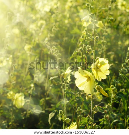 Yellow mallow flowers growing in the garden with sun rays #153036527