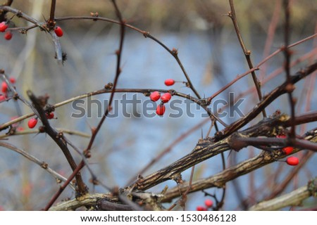 Rose hip branches with berries #1530486128