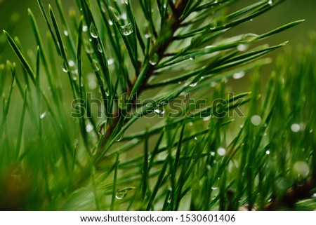 Closeup droplets of clean water on green twig of conifer tree in nature Royalty-Free Stock Photo #1530601406