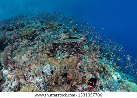 Colorful fish hover over a beautiful coral reef near Alor, Indonesia. This region receives strong currents which bring planktonic food to the vibrant fish and corals that live here. #1531057706
