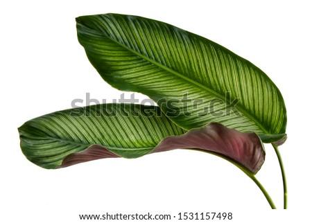 Calathea ornata leaves(Pin-stripe Calathea),Tropical foliage isolated on white background. #1531157498
