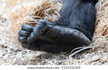 The detailed look at foot of western lowland gorilla (Gorilla gorilla gorilla) is lying on heap of the shavings. Gorillas feet, close up. #1531232309