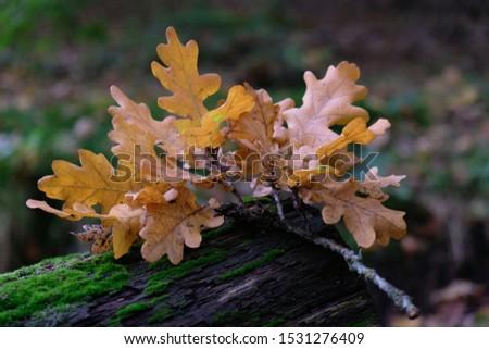 Oak twig with autumn leaves on a forest path. Quercus robur, common oak, pedunculate oak, European oak. #1531276409
