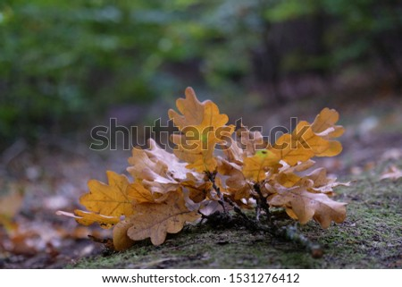 Oak twig with autumn leaves on a forest path. Quercus robur, common oak, pedunculate oak, European oak. #1531276412