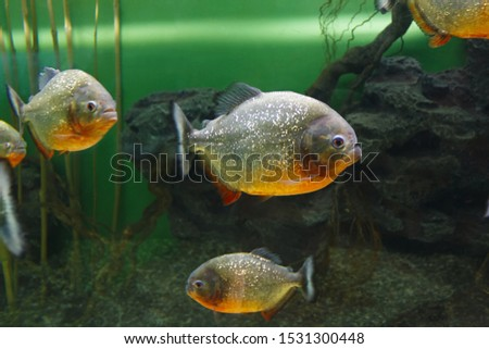 Red piranha (Pygocentrus nattereri), also known as the Red-bellied piranha, Red belly piranha in their habitat