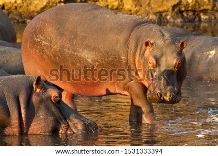 A hippo cow moves out of the day time wallow to go feeding under the watchful eye of the dominant bull. #1531333394