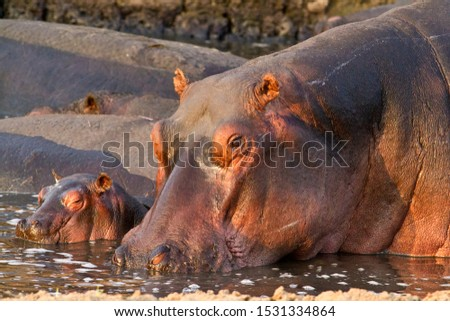 A cow hippo stays close to her small calf and is very protective of it against the dominant bulls and even large crocodiles. #1531334864