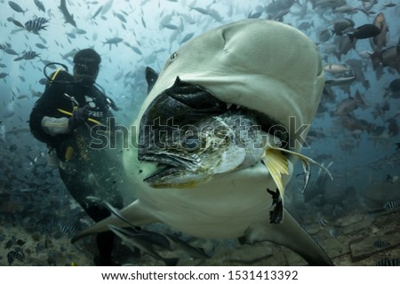 A large bull shark takes a fish from a divemaster in the Beqa Lagoon shark reserve in Fiji, during a shark feeding dive.  Royalty-Free Stock Photo #1531413392