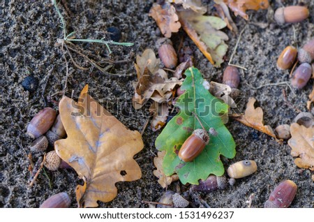 Multi-colored fallen oak leaves and acorns on the ground. Abstract autumn theme. Close-up. Soft focus. Shooting from top to bottom. Free space for text. Horizontal photo layout. #1531496237