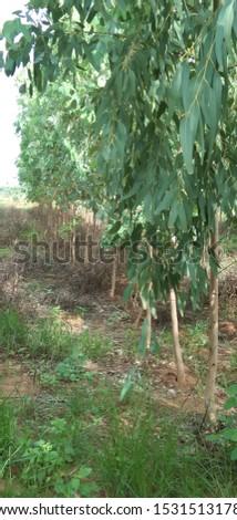 eukaliptus plants  plants plants plants #1531513178