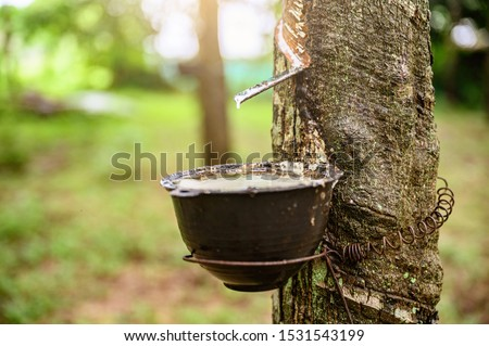 Tapping latex rubber tree, Rubber Latex extracted from rubber tree, harvest in Thailand. #1531543199