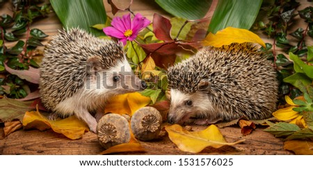 Four-toed Hedgehog on a funny autumnal picture