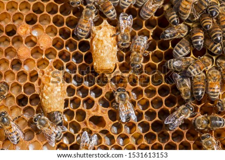Bees work near the larva of the Queen Bee. Royal jelly in queen cell. bees and queen bees larvae on honeycomb #1531613153