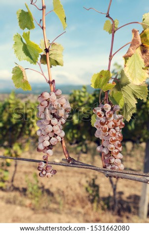 Amber clusters on a vine in a vineyard. Autumn season. Sunny weather. Selective focus #1531662080