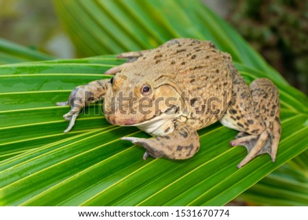 Image of Chinese edible frog, East Asian bullfrog, Taiwanese frog (Hoplobatrachus rugulosus) on the green leaves. Amphibian. Animal. #1531670774