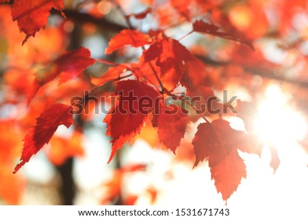leafs of maple tree autumn #1531671743
