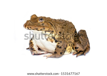 Image of Chinese edible frog, East Asian bullfrog, Taiwanese frog (Hoplobatrachus rugulosus) isolated on a white background. Amphibian. Animal. #1531677167