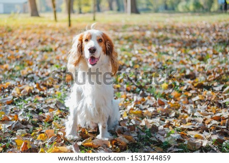 Portrait of a friendly purebred russian spaniel. Cute spaniel dog sits among autumn leaves in grass at a park #1531744859