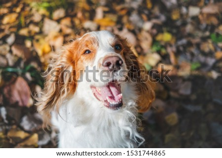 Portrait of a friendly purebred russian spaniel. Cute spaniel dog sits among autumn leaves in grass at a park #1531744865
