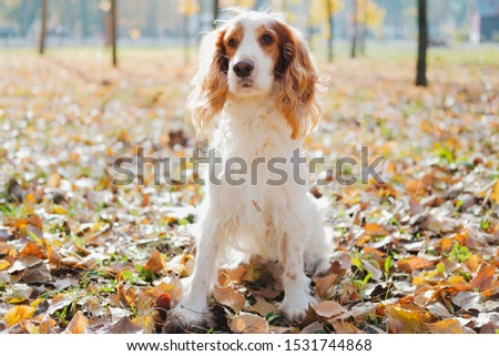 Portrait of purebred russian spaniel. Cute spaniel dog sits among autumn leaves in grass at a park #1531744868