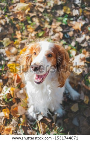 Portrait of a friendly purebred russian spaniel. Cute spaniel dog sits among autumn leaves in grass at a park #1531744871