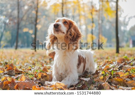 Portrait of purebred russian spaniel. Cute spaniel dog in autumn leaves in grass at a park #1531744880
