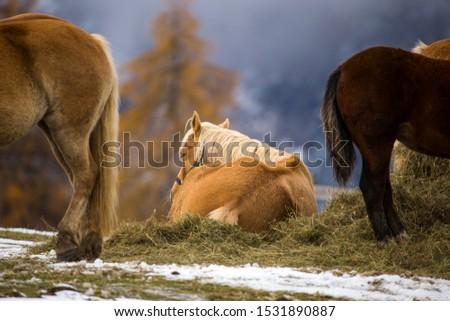 Beautiful horses in Alpe di Siusi, Italy-Dolomites, Alpes.  #1531890887