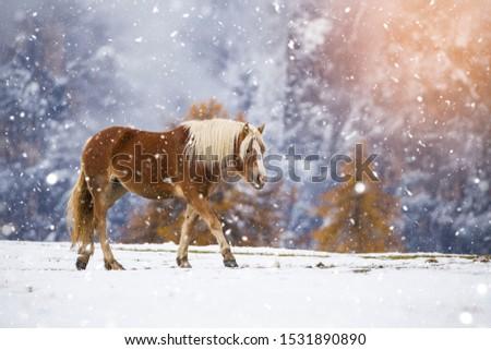 Beautiful horses in Alpe di Siusi, Italy-Dolomites, Alpes.  #1531890890