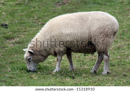 White Sheep - One Tree Hill - Aukland, New Zealand #15318910