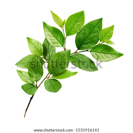 Twig with green leaves isolated on white #1531916141